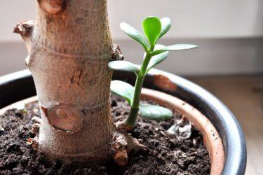 Денежное дерево (Толстянка). Как ухаживать в домашних условиях? — Все о поливе, размножении, пересадке (Фото & Видео) +Отзывы