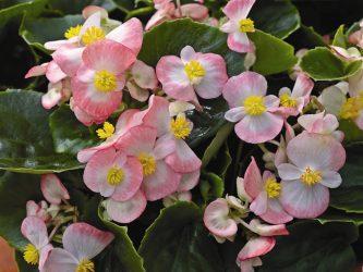 Бегония вечноцветущая: описание, виды, посадка в открытом грунте и уход, возможные болезни (60 Фото & Видео) +Отзывы