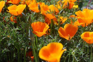 Эшшольция – маковое растения с Дикого Запада: описание, виды, выращивание из семян, посадка в открытый грунт, уход (80+Фото & Видео) +Отзывы