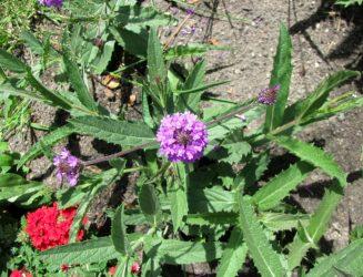 Вербена: описание, виды, выращивание, посадка в открытый грунт и уход за растением, размножение (95 Фото & Видео) +Отзывы