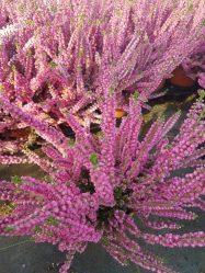 Вереск обыкновенный – медовый «иней» в саду. Описание, виды и сорта, посадка в открытый грунт, размножение, выращивание и уход (55+ Фото & Видео) +Отзывы