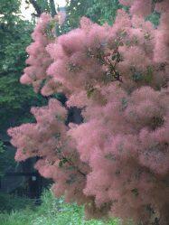 Скумпия: описание, виды, посадка в открытом грунте, размножение и уход за декоративным кустарником (60 Фото & Видео) +Отзывы