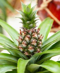 Ананас — самый известный тропический плод: описание, посадка и выращивание в домашних условиях, рецепты десертов (Фото & Видео) +Отзывы