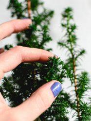 Кипарис — грациозное растение, полезное для здоровья. Описание 10 сортов подходящих для выращивания в домашних условиях, уход и размножение (50 Фото & Видео) +Отзывы