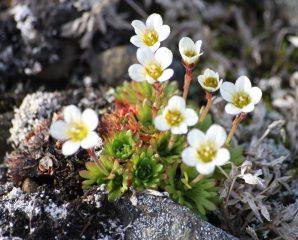 Камнеломка: описание, виды и сорта, размножение, выращивание из семян, посадка в открытый грунт, уход (110+ Фото & Видео) +Отзывы