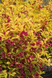 Вейгела: описание, виды и сорта, посадка в открытый грунт и правильный уход за растением (60 Фото & Видео) +Отзывы