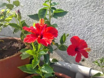 Гибискус (китайская роза)  – тропическая мальва: описание, выращивание, размножение и уход, возможные болезни (75+ Фото & Видео) +Отзывы