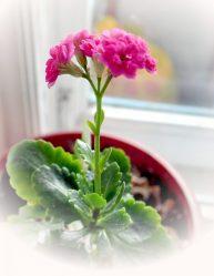 Цветок Каланхоэ (120+ Фото & Видео) — уход в домашних условиях, пересадка, размножение, полезные свойства +Отзывы