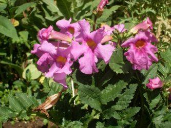 Инкарвиллея – декоративный гость из Азии: описание, выращивание, размножение, посадка в открытый грунт и уход (50+ Фото & Видео) +Отзывы