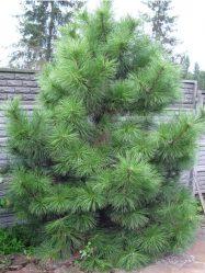 сосна хвойные растения фото