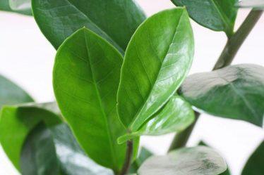 Шеффлера домашняя – неприхотливый экзот: описание, виды, выращивание, уход, размножение, пересадка (60 Фото & Видео) +Отзывы