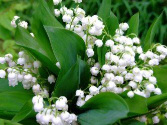 Ландыш майский: описание растения, виды, выращивание на своем участке и уход, лечебные свойства (55 Фото & Видео) +Отзывы