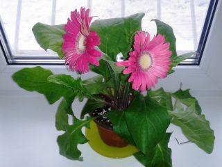 Герберы: как вырастить тропический цветок у себя в домашних условиях. Описание, сорта, уход, размножение, возможные болезни (50+ Фото & Видео) +Отзывы