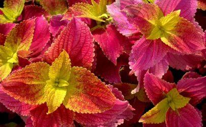 Колеус: описание, виды и сорта, выращивание из семян, посадка и уход в домашних условиях и в открытом грунте (80+ Фото & Видео) +Отзывы