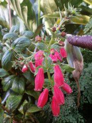 Глоксиния или Синнингия? Описание, виды, выращивание из семян или клубня, уход, размножение (50 Фото & Видео) +Отзывы