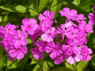Флоксы — рекордсмены по цветению: описание, посадка в открытом грунте, размножение и уход (85+ Фото & Видео) +Отзывы
