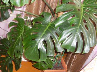 Монстера домашняя – экзотическая лиана из жарких тропиков. Описание, уход, пересадка и размножение (75 Фото & Видео) +Отзывы