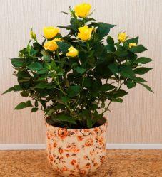 Роза домашняя в горшке: Как ухаживать в домашних условиях? (20+ Фото & Видео) +Отзывы
