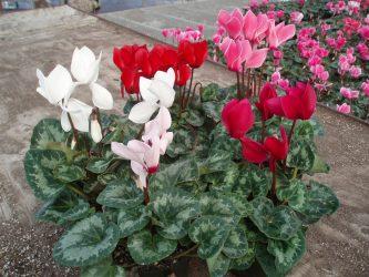 Цикламен — фиалка из луковицы: описание, выращивание из семян в домашних условиях, уход за растением, размножение и пересадка (75+ Фото & Видео) +Отзывы