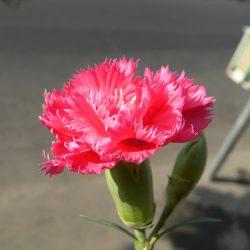 Гвоздика — многолетнее садовое растение: описание, виды и сорта, способы выращивания и размножения, посадка и уход в открытом грунте (60+ Фото & Видео) +Отзывы