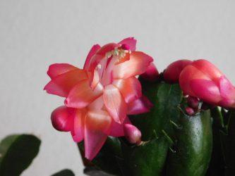 Шлюмбергера – эпифитное растение, цветение которого противоречит всем канонам природы. Особенности выращивания декабриста в домашних условиях (65+ Фото & Видео) +Отзывы