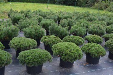 Сосна во дворе: секреты роста, народные приметы, хитрости посадки в открытом грунте и уход за ней (55+ Фото & Видео) +Отзывы