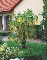Бобовник — «золотой дождь» в вашем саду: посадка в открытом грунте, уход, возможные болезни, использование в ландшафтном дизайне (55 Фото & Видео) +Отзывы