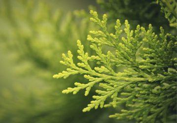 Туя западная: описание 14 морозостойких сортов, способы размножения, выращивание и уход (50+ Фото & Видео) +Отзывы
