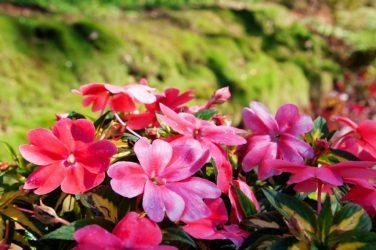 Выращивание бальзамина (65 фото): из семян, в открытом грунте, на даче, сорта, описание, посадка, подкормка, уход