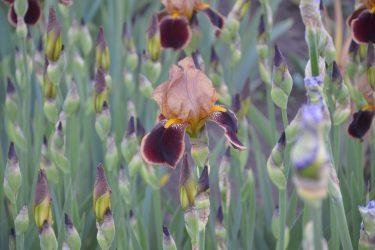 Ирисы: описание, виды и сорта, посадка в открытый грунт и уход (150+ Фото & Видео) +Отзывы