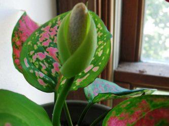 Аглаонема: описание, уход в домашних условиях, размножение, разновидности (100+ Фото & Видео) +Отзывы