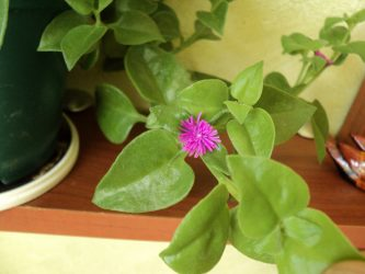 Пеперомии — перечные братья в домашних условиях: описание, виды, уход и выращивание, а также размножение (60+ Фото & Видео) +Отзывы
