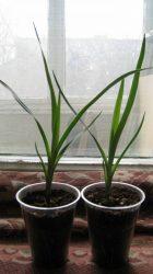 Драцена маргината — уход, размножение в домашних условиях (140 Фото)