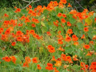 Принцесса Настурция: знакомая незнакомка. Описание, виды, выращивание из семян, уход (50 Фото & Видео) +Отзывы