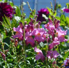 Львиный зев: описание, виды, выращивание из семян, посадка в открытый грунт и уход за растением, лечебные свойства (85+ Фото & Видео) +Отзывы
