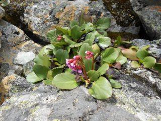 Бадан: описание, виды и сорта, посадка и уход в открытом грунте, лечебные свойства и противопоказания (60+ Фото & Видео) +Отзывы