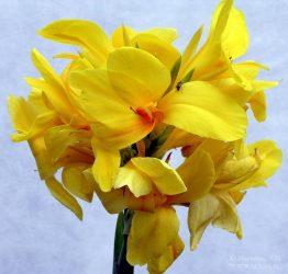 Канна — крупное декоративное растение: описание, посадка и уход в открытом грунте и в домашних условиях (70+ Фото & Видео) +Отзывы