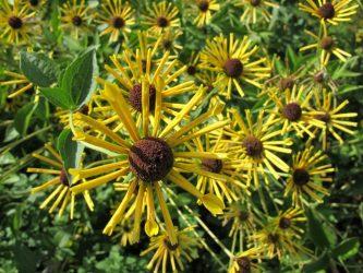 Рудбекия: посадка и уход за растением в открытом грунте. Сорта рудбекии для оформления приусадебного участка, полезные свойства (80+ Фото & Видео) +Отзывы