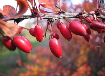 Кизил — растение на все случаи жизни: описание, посадка в открытом грунте, уход, размножение, возможные болезни (50+ Фото & Видео) +Отзывы