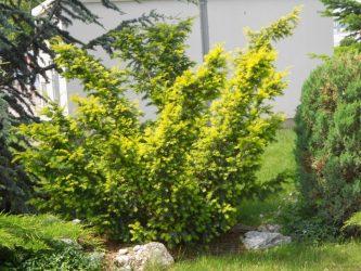 Каталог хвойных растений для украшения вашего сада: описание декоративных представителей, ландшафтные хитрости (75+ Фото & Видео) +Отзывы