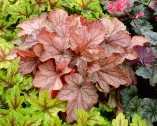 Гейхера многолетняя – когда листья важнее цветов: описание, посадка в открытом грунте, уход (80+ Фото & Видео) +Отзывы