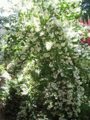 Дейция: описание, виды и сорта, посадка в открытом грунте и уход за теплолюбивой восточной красавицей (75+ Фото & Видео) +Отзывы
