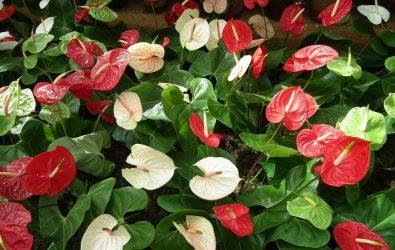 Антуриум — экзотическое разноцветье в домашних условиях: виды, размножение и уход (Фото & Видео) +Отзывы