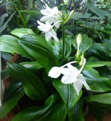 Эухарис в домашних условиях: описание, виды, выращивание и уход (70 Фото & Видео) +Отзывы