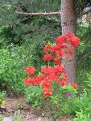 Азалии садовые: описание, сорта, посадка и уход в открытом грунте, подготовка к зимовке (50 Фото & Видео) +Отзывы
