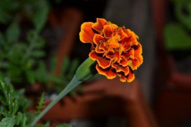 Бархатцы (Чернобривцы) – одни из лучших однолетников. Описание, выращивание из семян, посадка и уход, возможные болезни (80+ Фото & Видео) +Отзывы