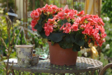 Бегония элатиор: уход, условия для выращивания и размножения в домашних условиях   (45+ Фото & Видео) +Отзывы