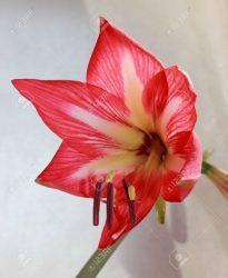 Каталог Луковичных Цветов: Описание 21 Сорта, для выращивания в открытом грунте и в домашних условиях (65 Фото & Видео) +Отзывы