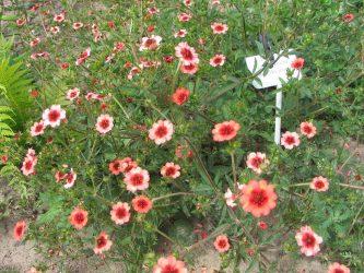 Лапчатка: описание 17 популярных видов, правила выращивания, посадки в открытом грунте, размножения и ухода (100 Фото & Видео) +Отзывы