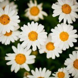 Ромашка —  цветок для гадания и не только: описание многолетнего растения, посадка в открытом грунте, уход и размножение (65+ Фото & Видео) +Отзывы